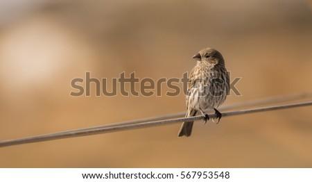 Female House Finch.  A finch enjoying the sunlight.
