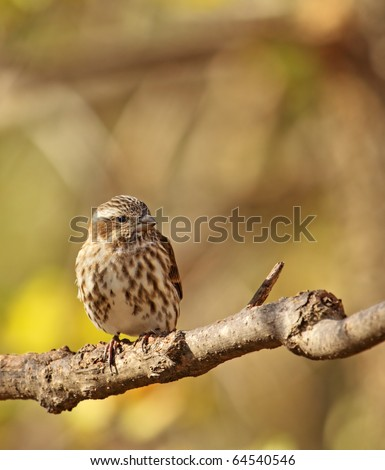 Female house finch, Carpodacus mexicanus, perched on a tree branch
