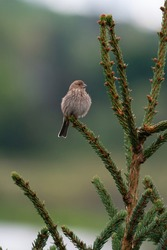 Female House finch resting on branch. That's partly due to the cheerful red head and breast of males, and to the bird's long, twittering song.