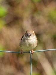 Female House Sparrow, Passer domesticus