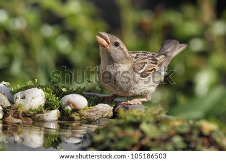 Female House Sparrow (Passer domesticus) drinking at a bird bath.