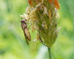 Female hoverfly feeding on grass seeds while carrying eggs.