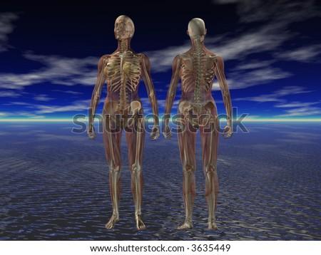 human anatomy skeleton. Human Anatomy Muscle and