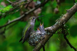 Female hummingbird feeding two baby in the nest