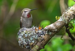 Female hummingbird with two baby in the nest