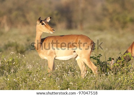 Female Impala (Aepyceros melampus) in South Africa