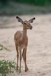 Female Impala antelope seen at sunset on a safari in South Africa