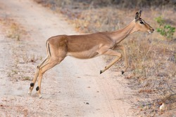 Female impala doe running and jumping away from a danger