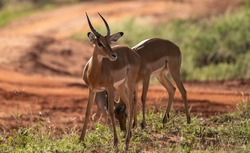 Female impala face close up. Tsavo East National park in Kenya