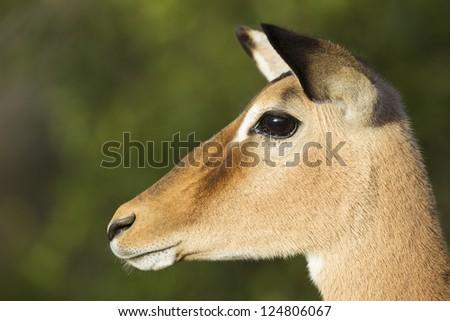 Female Impala portrait (Aepyceros Melampus), South Africa