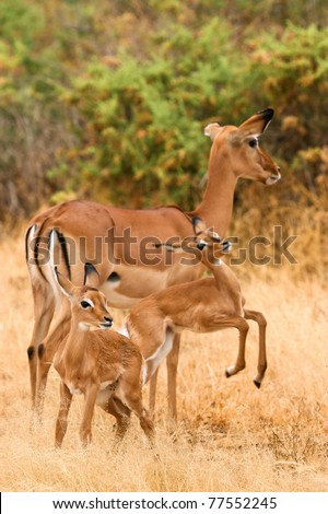Female impala with young impalas, Samburu, Kenya