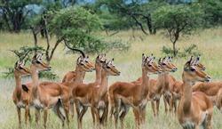 Female Impalas in Serengeti national park Tanzania during the rainy season in April