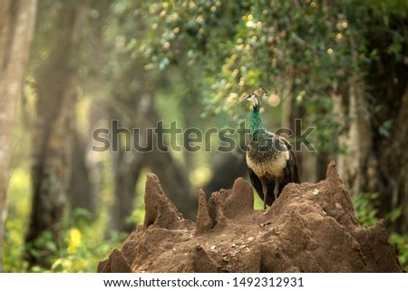Female Indian Peafowl (Pavo cristatus) perched on termite nest in jungle, Yala National park, Sri Lanka, beautiful ellegant and colorful bird with crown in natural enrironment, birdwatching in Asia