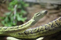 Female Jamaican Boa, Marley (Chilabothrus subflavus)