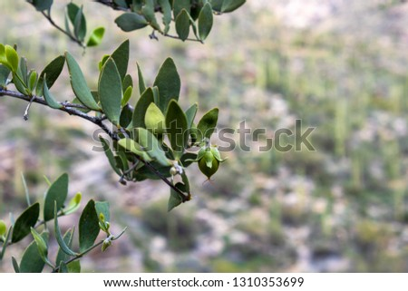 Female Jojoba plant with a green immature nut growing on a healthy branch from the bush. Sonoran Desert landscape with a hillside covered in Saguaro Cactus in the background. Tucson, Arizona. 2019.