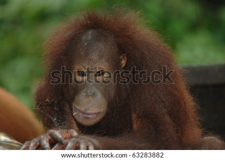female juvenile orangutan, borneo, south east asia orange monkey