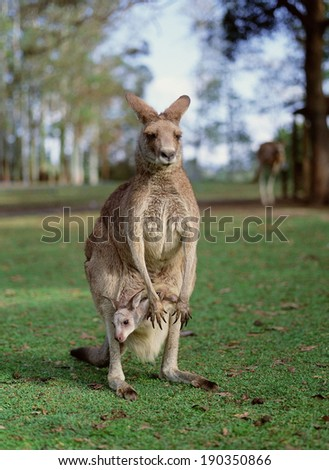 Female kangaroo with its joey