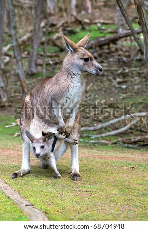 Female kangaroo with joey trying to leave her pouch. The photo was taken in Phillip Island Wildlife Park in Australia