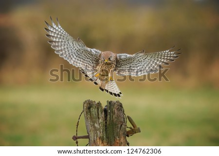 Female kestrel, falco tinnunculus, coming into land, wings spread