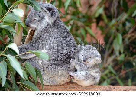 Female koala with a baby #559618003