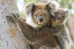 Female koala with a young joey on her back climbing a eucalyptus tree in Gippsland Australia.