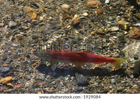 Female Kokanee Salmon  swimming in a stream near Lake Tahoe