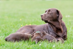 Female labrador retriever dog feeding her litter of adorable young brown pups.