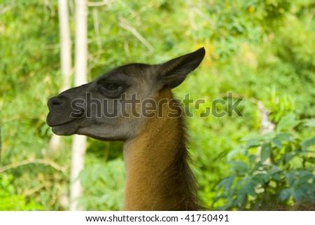 Female Lama, shot at the amazon rainforrest in Ecuador - stock photo