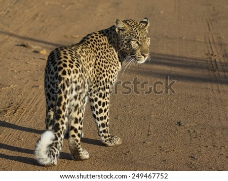 Female leopard, full body, from the back with head turned. Plain gravel background. Black spots, curled tail and face are clear.
