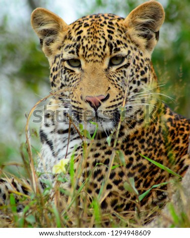 Female leopard looking at camera. #1294948609