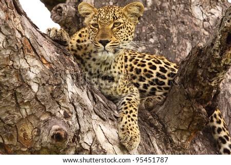 Female leopard lying in a tree