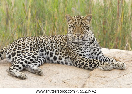 Female Leopard (Panthera pardus), in a dry river bed, Kruger Park, South Africa - stock photo