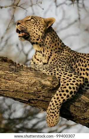 Female Leopard, (Panthera pardus) in tree, South Africa