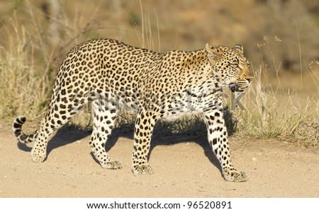 Female Leopard (Panthera pardus), Kruger Park, South Africa