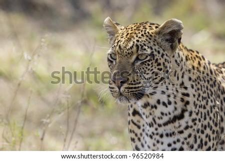 Female Leopard (Panthera pardus), Kruger Park, South Africa