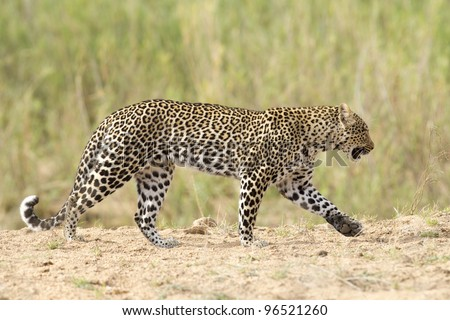 Female Leopard (Panthera pardus) walking in dry river bed, South Africa