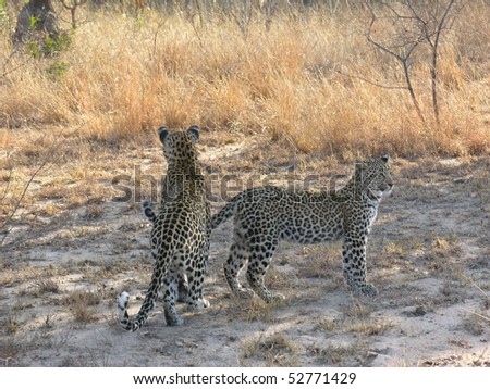 female leopard with cub