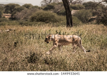 Female lion alone in tanzania #1449933641