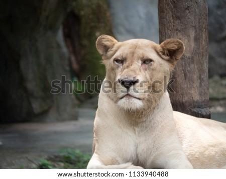 Female lion close up picture