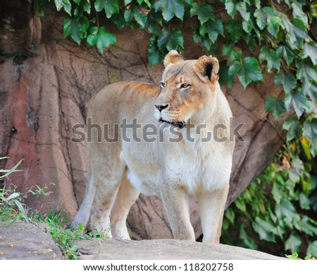 female lion in Chicago zoo