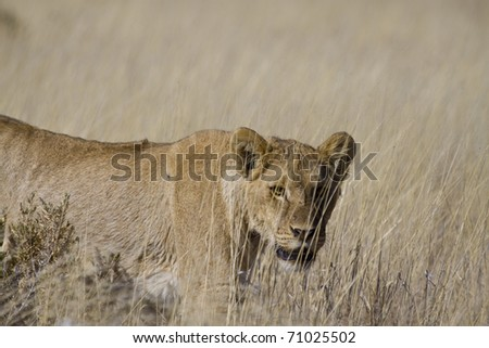 female lion in the African savanna, Namibia