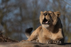 Female lion (lioness) sitting in the sun