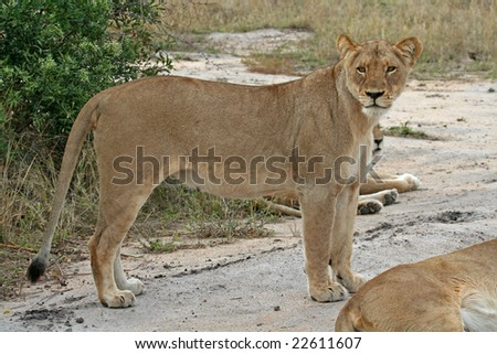 Female Lion, Lioness, South Africa