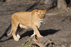 Female lion looking frontal in the camera