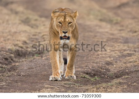 female lion looking frontal in the camera kenya africa - stock photo