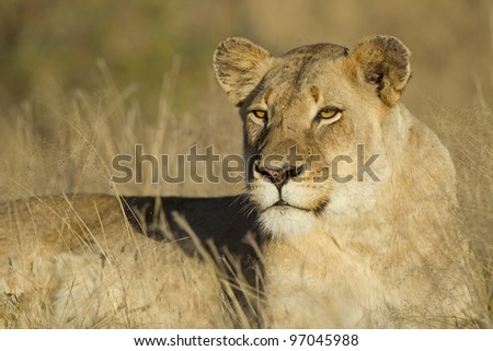 Female Lion (Panthera leo) Lioness resting