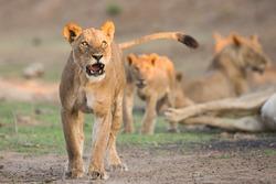 Female Lion (Panthera leo) snarl