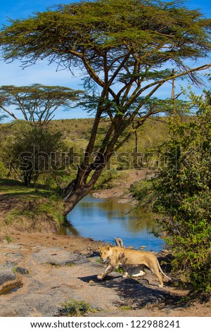 Female lion passing a water hole in  Mara River in Masai Mara National Park, Kenya