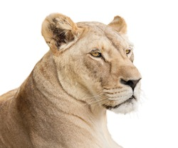 Female lion portrait, isolated on white background with copy space.
