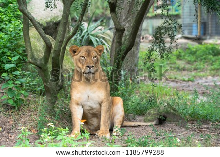 female lion posing for a picture